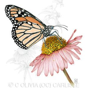 Olivia Carlisle Drawing of Monarch Butterfly