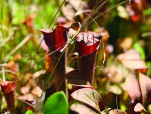 Two among thousands of carnivorous pitcher plants